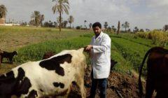 تحصين 400 ألف رأس ماشية ضد الجلد العقدي وجدري الأغنام خلال 3 أيام