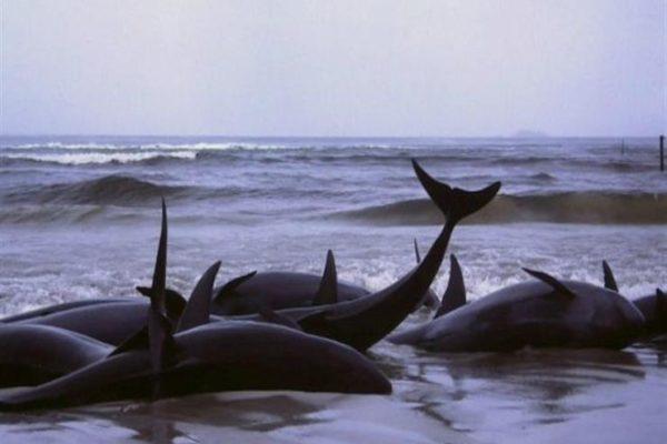 """العثور على 50 من أفراد """"الحوت الربًان"""" نافقة في أيسلندا"""