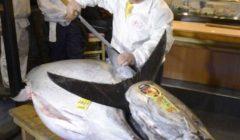 بالفيديو.. اصطياد سمكة تونة عملاقة بـ2.7 مليون جنيه استرليني في أيرلندا