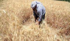 المركزي للإحصاء: 1.6% زيادة في إنتاج القمح بمصر خلال 2017-2018