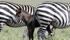 ظهور حمار وحشي ذهبي في محمية طبيعية بكينيا (صور)