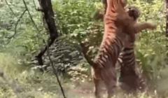 سائح يوثق معركة «مدهشة» بين نمرين: الأنثى هربت بعد تسلل أحدهما خلسة (فيديو)