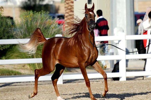 الزراعة: مزاد لبيع فائض خيول محطة الزهراء.. الثلاثاء