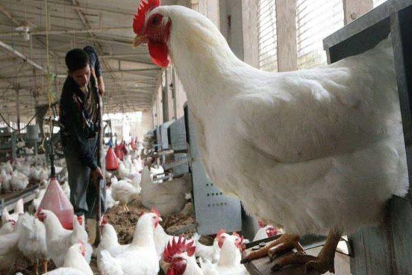 الزراعة توضح: هل تنخفض أسعار الدواجن بالأسواق؟