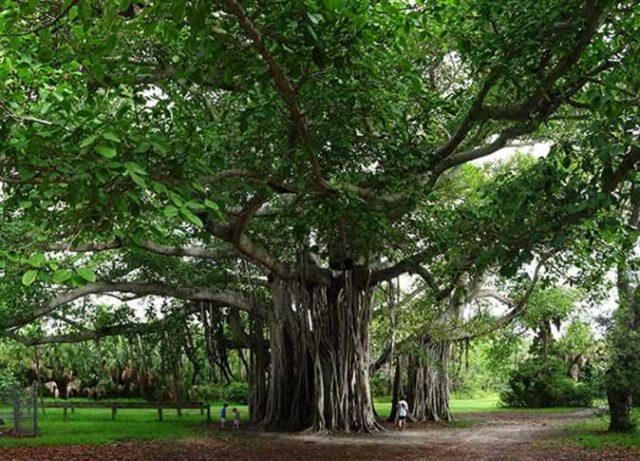 من بينها الموز.. 7 أشجار لها قيمة روحانية في الثقافة الهندوسية