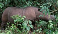 «موت إيمان جاء أسرع مما كنا نتوقع».. نفوق آخر وحيد قرن سومطري في ماليزيا