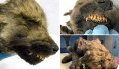 علماء يعثرون على كلب أو ذئب عمره 18 ألف عام: «لسه مش متأكدين»