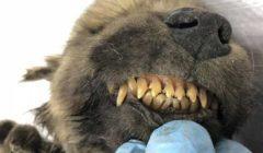موجود بروسيا و عمره 18 ألف عام.. قصة أقدم كلب في العالم