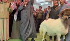 بيع نعجة بـ2 مليون جنيه في الكويت.. بيضاء وحجمها أضخم من المعتاد (فيديو)