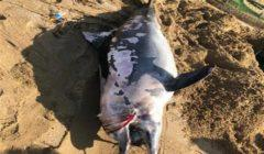 """""""علوم البحار"""" يكشف تفاصيل العثور على دولفين نافق بشاطئ في السويس"""