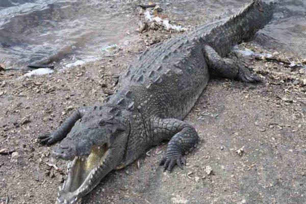 الطب البيطري بالجيزة يكشف حقيقة فيديو العثور على تمساح بأكتوبر