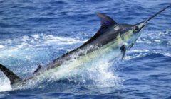 سمكة أبو سيف غاضبة تحاول طعن سائح | فيديو