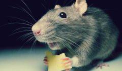افتتاح مطعم للفئران في السويد لجذب الزبائن خلال أعياد الميلاد   صور