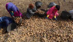 «زي النهارده».. اكتشاف البطاطس 3 ديسمبر 1568