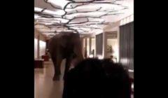 فيل يدخل أحد الفنادق في سريلانكا