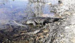 «البيئة» تعيد 8 تماسيح إلى بحيرة ناصر