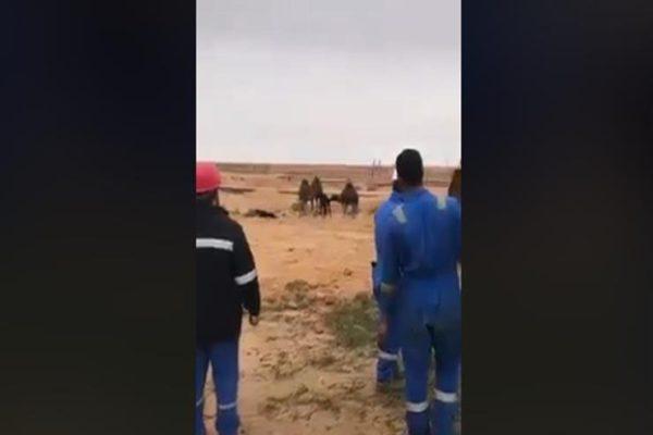 قصة إنقاذ 3 جمال صغيرة بمنطقة بترول في الصحراء الغربية