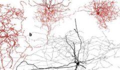 استخدام الموجات فوق الصوتية للكشف عن دور المخ أثناء اكتشافه لرائحة ما