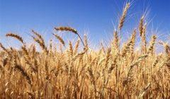 """""""الزراعة"""" تتابع محصول القمح بمحافظتي الغربية وكفر الشيخ"""