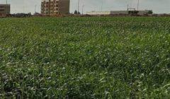 """مدير معهد المحاصيل الحقلية يكشف حقيقة إصابة القمح المصري بـ""""الصدأ الأصفر"""""""
