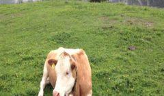 """المنظمة العالمية لصحة الحيوان: سويسرا تعلن عن أول إصابة بـ""""جنون البقر"""""""