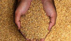 """""""الزراعة"""": ارتفاع مساحات زراعة القمح لـ3 ملايين و402 ألف فدان"""