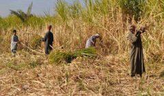 الحكومة تنفي توقف زراعة قصب السكر بالأقصر وأسوان