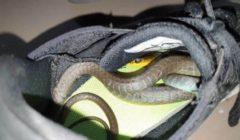 سيدة تعثر على ثعبان داخل حذاء في منزلها | صور
