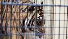 للمرة الأولى.. كورونا يصيب نمر بحديقة حيوان في نيويورك