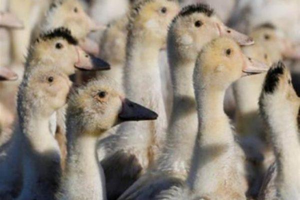 المجر تبدأ في ذبح أكثر من 200 ألف من البط بسبب انفلونزا الطيور