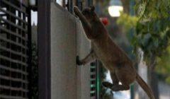 """فيروس كورونا: العثور على ثالث """"أسد أمريكي"""" في شوارع سانتياغو"""
