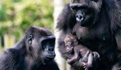 بعد إصابة نمر في أمريكا بكورونا.. بريطانيا تقرر حماية القردة من البشر