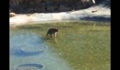 قطة يائسة تفشل في محاولة التقاط سمكة في بركة متجمدة | فيديو