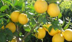الصحة: زراعة أشجار ليمون وزيتون وتين في مستشفيات الحميات والصدر