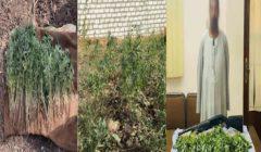 400 شجرة على نصف قيراط.. ضبط مزارع حول أرضه لزراعة البانجو في أسيوط