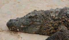 نجا من الحرب العالمية.. وفاة تمساح في موسكو عن عمر ناهز الـ84 عامًا