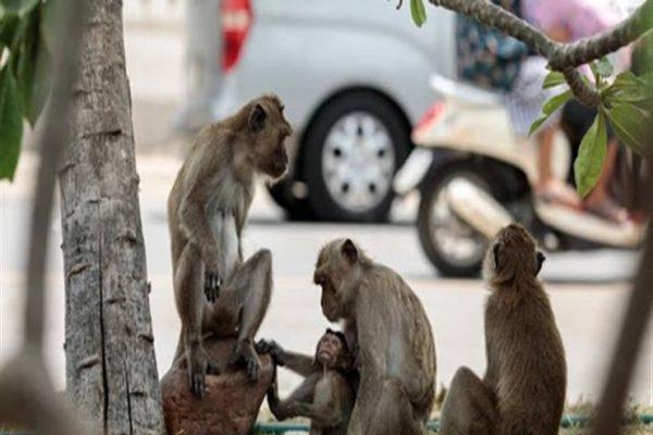 """""""القرود"""" تسرق عينات دم مرضى كورونا في الهند"""