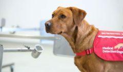 بريطانيا تبدأ تدريب الكلاب على اكتشاف فيروس كورونا