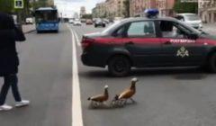 الحرس الروسي يحظر المرور وسط موسكو من أجل عائلة البط | فيديو