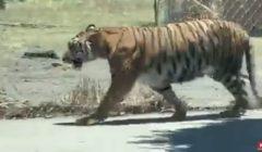 فيديو لملاحقة نمر في أحد شوارع المكسيك   فيديو