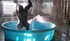 لحظات جنونية لغوريلا ضخمة ترقص داخل حمام سباحة (فيديو)