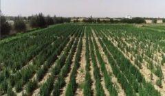 مأمورية في الصحراء.. رحلة 3 إدارات أمنية لإعدام 10 أفدنة بانجو (فيديو)