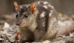 في ظل كورونا.. حيوان مهدد بالانقراض يقتحم متجراً أسترالياً| صور
