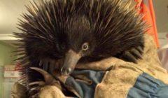 بعد أن علق لمسافة 10 كم بمحرك سيارة.. نجاة حيوان آيكيدنا في أستراليا | صور