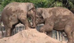 فيل وأخته يتدافعان على الرمال | فيديو