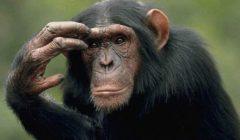 باحثون: الإنسان يستطيع فهم مشاعر الشمبانزي من خلال صرخاته