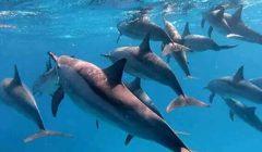 «كورونا» يمنح «دلافين البحر الأحمر» موسم ولادة آمنة بعد توقف الرحلات