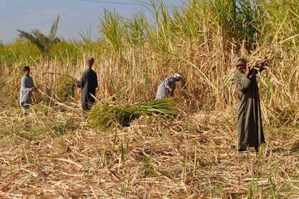 """""""الزراعة"""" تصدر نشرة التوصيات الفنية لمزارعي قصب السكر في شهر يوليو"""