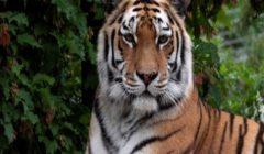 في حديقة حيوان بسويسرا نمر يقتل حارسة أمام الزوار
