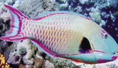 حملة لوقف صيد «سمكة الببغاء» في البحر الأحمر